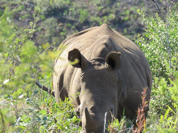 black rhino South Africa 2016 copyright Tampone