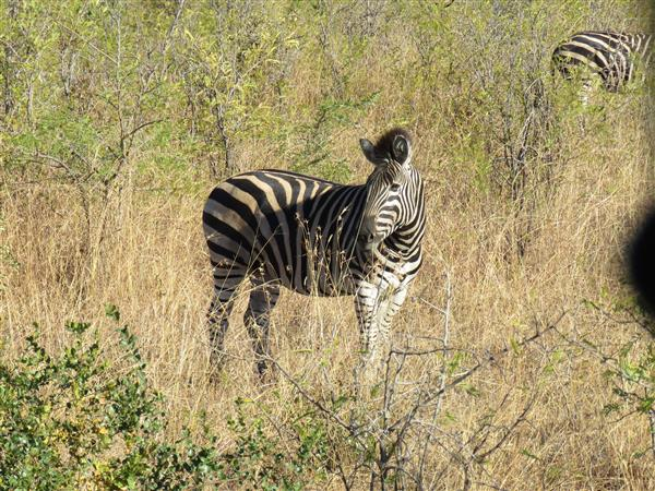 zebra South Africa 2016 Copyright Tampone